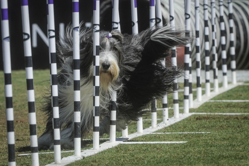 In this image provided by Purina® Pro Plan®, Razzles a Bearded Collie of Suwanee, Ga., competes in the 30-Weave Up-And-Back competition of the Purina Pro Plan Incredible Dog Challenge® at Centennial Olympic Park on Saturday, April 2, 2016. Razzles took second place and is fueled by Purina Pro Plan.  .